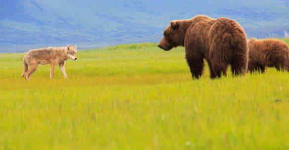 alaska-grizzlies-kodiak-katmai-1-bears-wolf