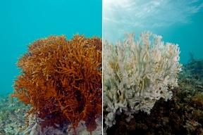 coral-bleaching-7